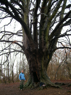 Ancient beech tree at Fineshade Woods